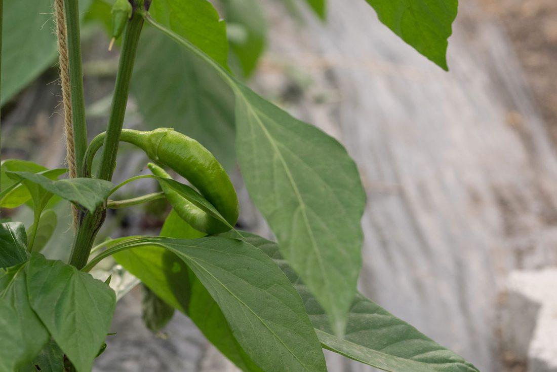 Caliente: eine noch junge Bündner Chili.