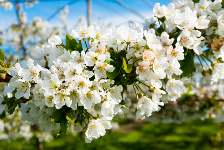 close up view of clusters of bright white apple blossoms on a low-stem breed apple tree