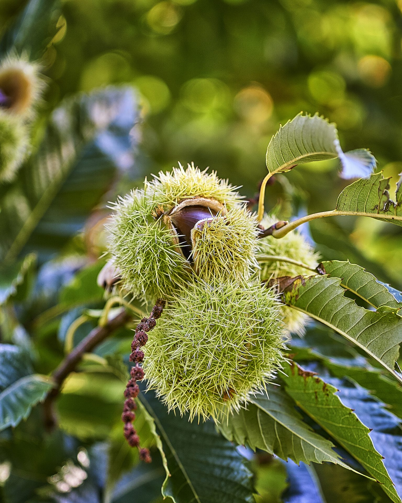Branch of chestnut with fruits. Chestnuts. Castanea sativa.