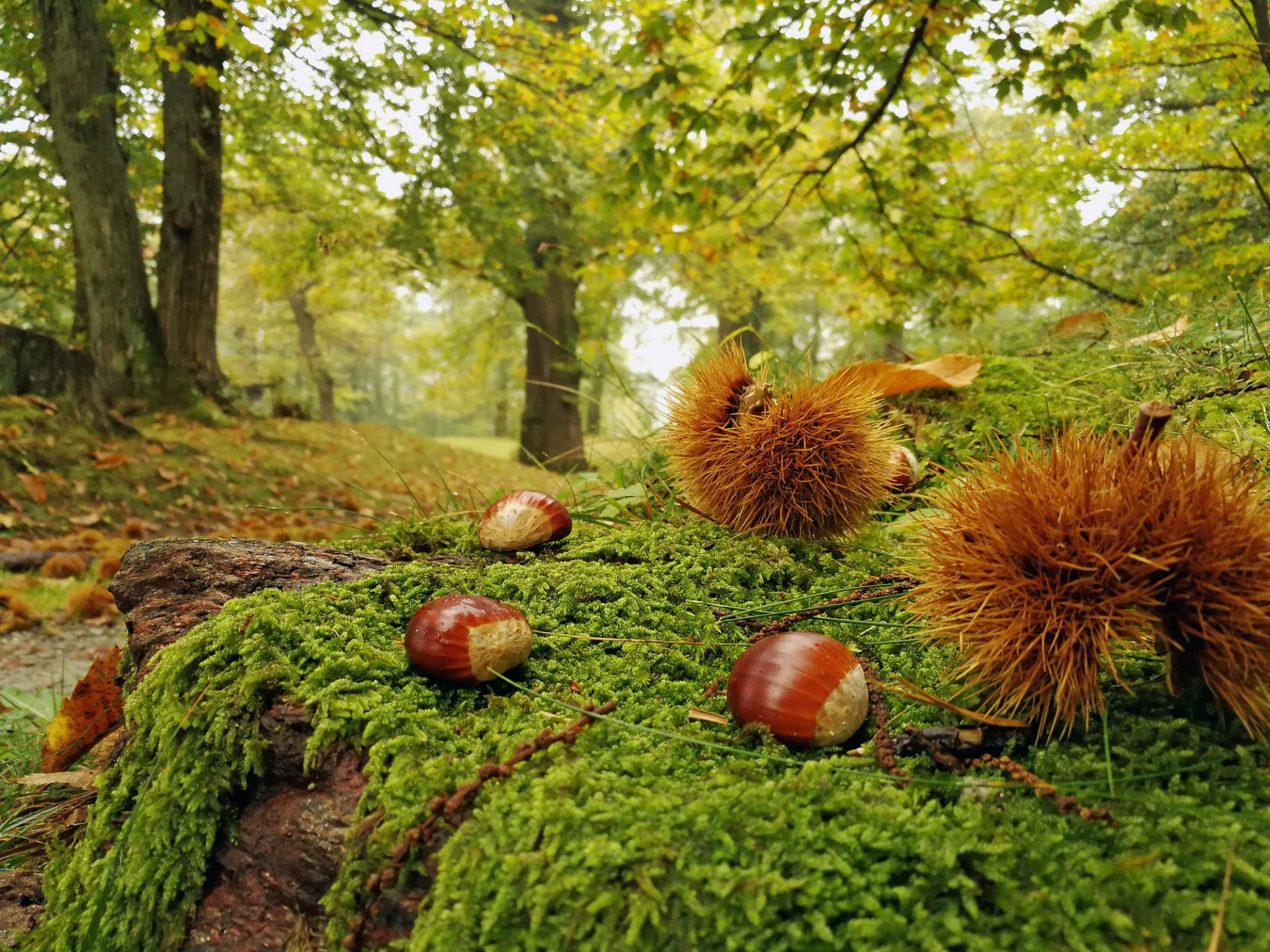 Chestnut forest in autumn in Switzerland.