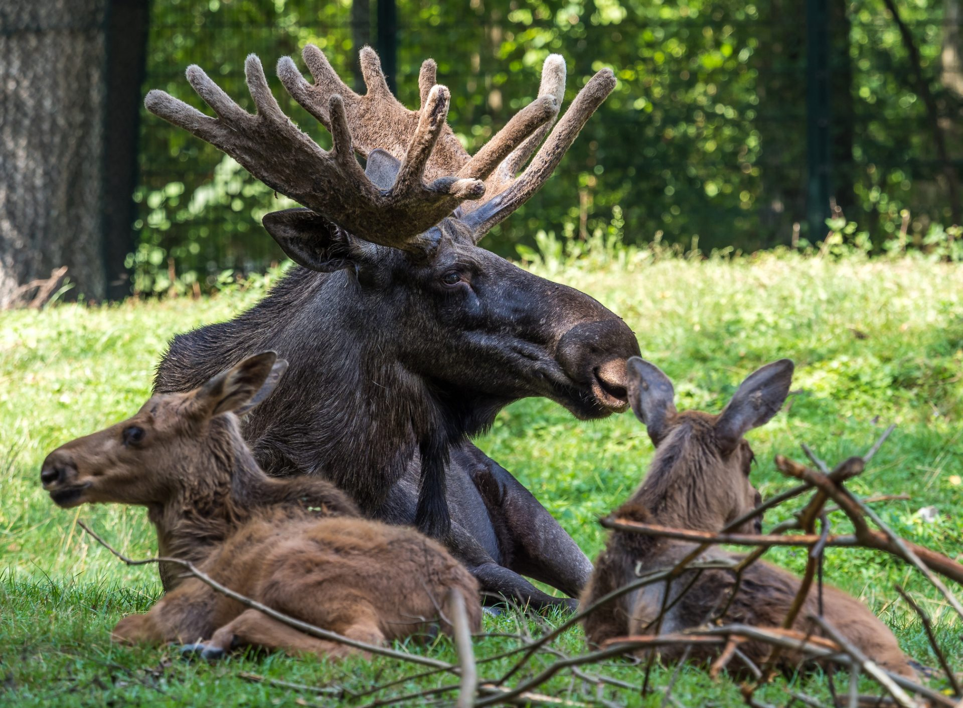 European Moose, Alces alces, also known as the elk