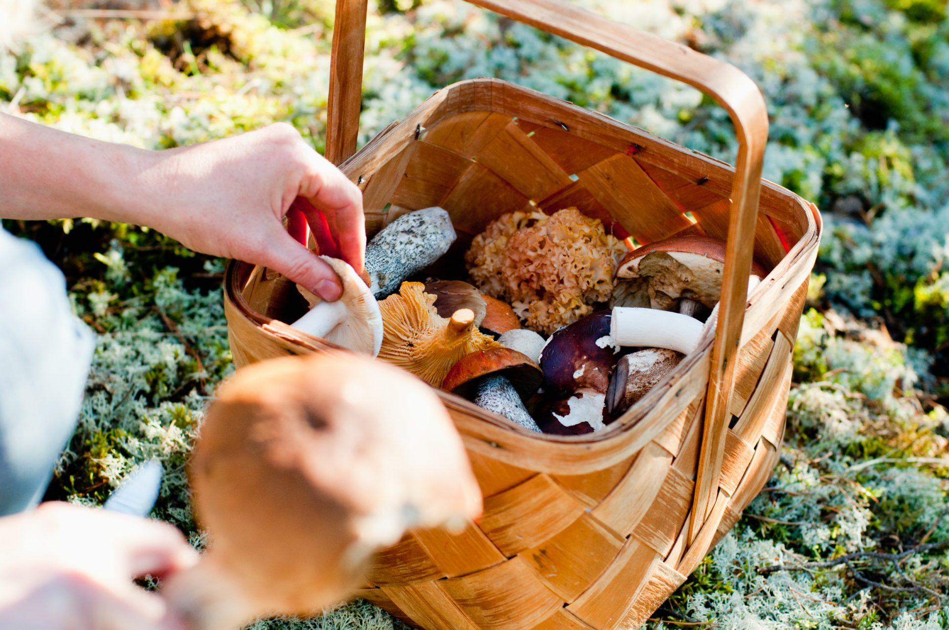 helena_wahlman-picking_mushrooms-3095