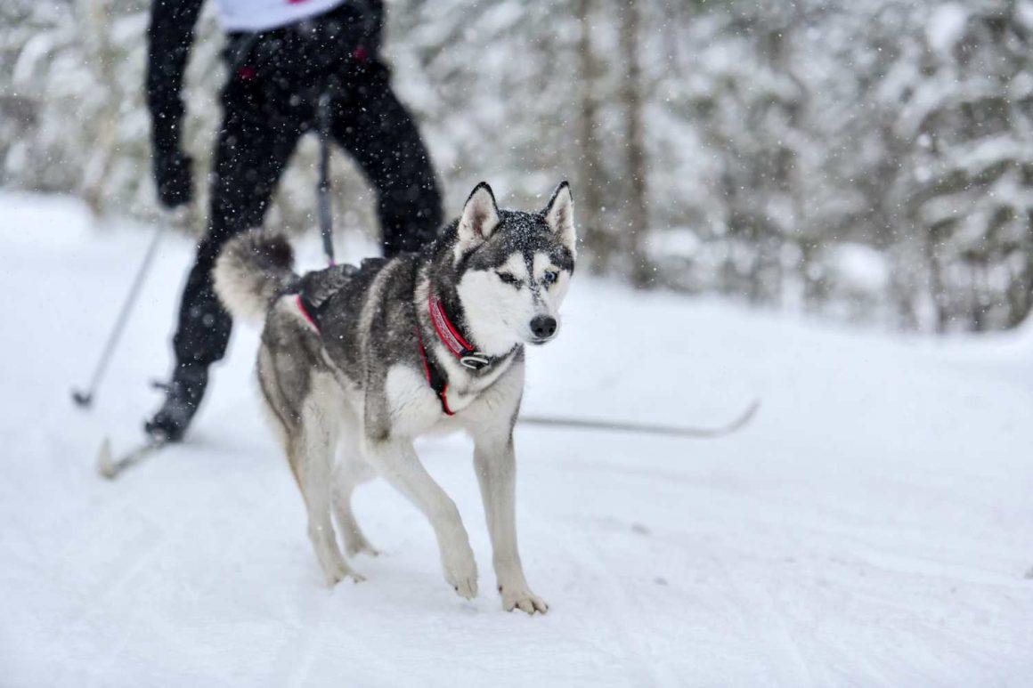 Dog skijoring competition