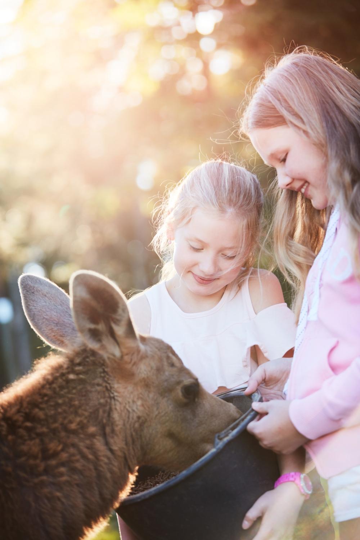patrik_svedberg-feeding_a_baby_moose-6413