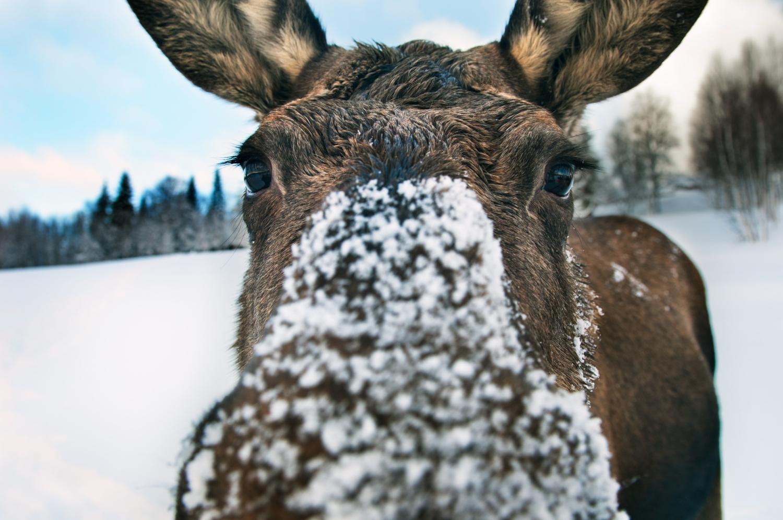pontus_charleville-a_curious_moose-4279