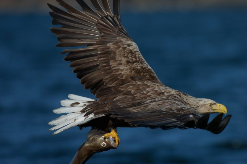 Adler_staffan_widstrand-eagle_safari-2571